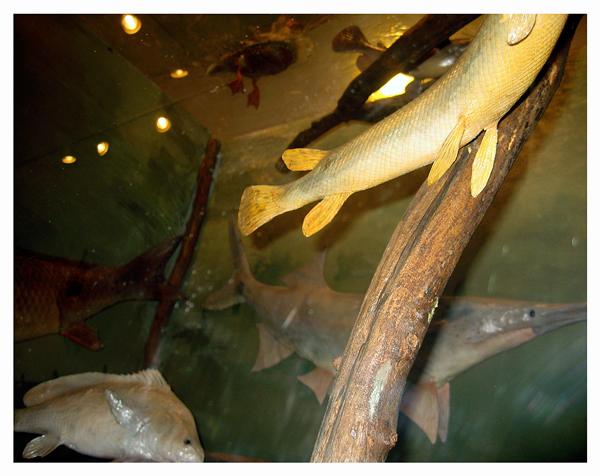 Gar Paddlefish; River Center Nature Center; Nebraska City, September 2009