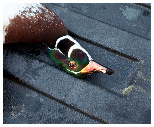 Dead drake wood duck; Heron's Foot; Locustville, VA, November 2013