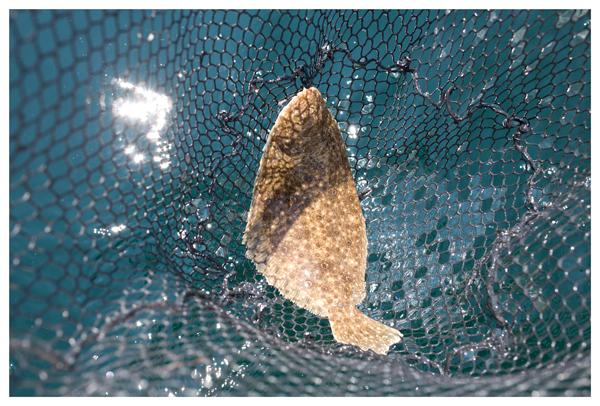 Netted summer flounder, Atlantic Ocean, off Virginia, August 2014